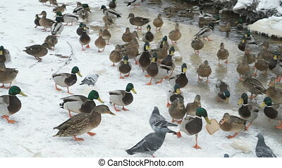 Feeding ducks and drakes in red creek in winter