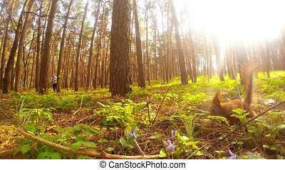 Squirrels frolic in the spring forest, sequence.