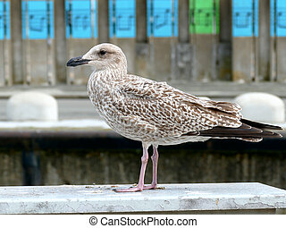 Juvenile herring gull sea gull