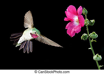 Hummingbird feeding from flower - Ruby-throated Hummingbird...