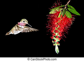 Hummingbird feeding from red beautiful tropical Bottlebrush...