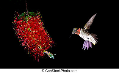 Ruby-throated hummingbird feeding from red beautiful...