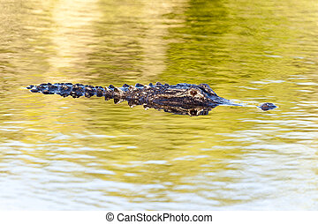 Alligator early evening - American alligator in swamp along...