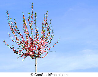 Apple tree - Blossomed apple tree on blue sky background