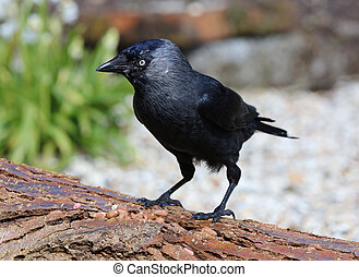 Jackdaw - Close up of a Jackdaw on a tree stump