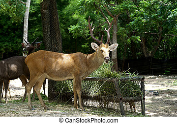 brow antlered deer - closeup of brow antlered deer in the...