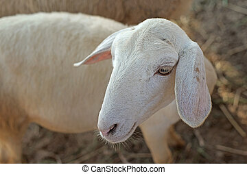 white lamb in paddock - closeup of white lamb in paddock of...