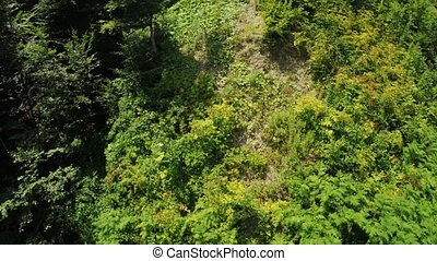 Thickets of raspberry in mountains - View from ski lift to...
