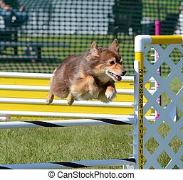 Miniature American (formerly Australian) Shepherd at Dog Agility Trial