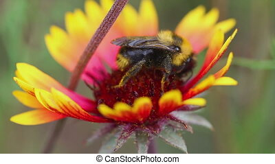 Bumblebees on a flower Gaillardia - Two large bumblebees on...