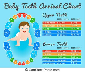 Teeth infographic vector - Baby prelimanary tooth eruption...