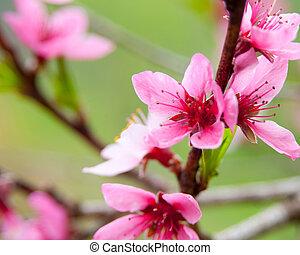 Blossom - Apricot blossom close-up Shallow depth of field...