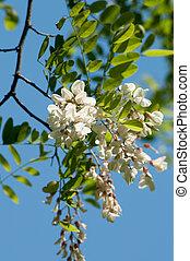 Acacia locust - Acacia blossom against blue sky Acacia is...