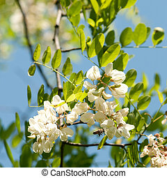 Acacia locust - The honey locust tree -Bee and blossom...