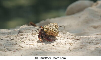 Hermit Crab walking - Hermit Crab in Aruba beach