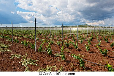 Viticulture with grape saplings - Large viticulture with...