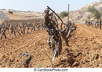 Unirrigated vineyards in a small field Photo take in Toledo...