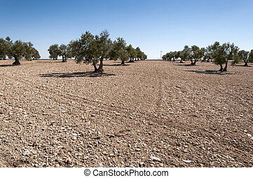 Olive groves in an agricultural landscape in Toledo...
