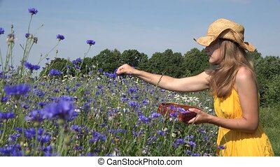 Cornflower blooms and herbalist woman gather herbs Focus...