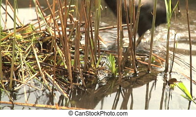 Bird coot making its nest on wate - Wild bird coot building...