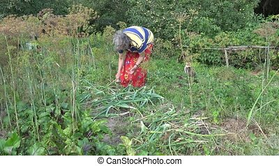 woman pick ripe big onion harvest in own country garden. 4K