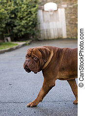 big french mastiff of bordeaux