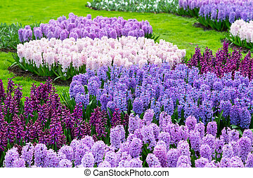 Colorful hyacinth flowers blossom in dutch spring garden...