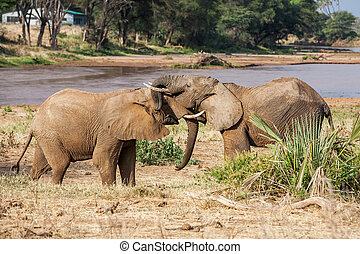 Two African elephants greeting each other with trunks and mouths touching