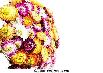 Straw flower or Everlasting blossoming in Phuhinrongkla...