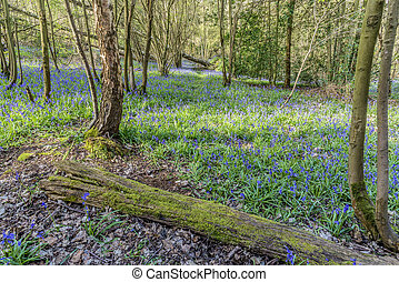 Old Bluebell Wood
