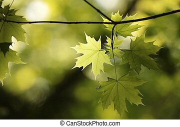 Spring leaves in the forest - Twig of spring leaves in the...