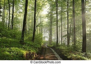 Spring beech forest after rainfall.