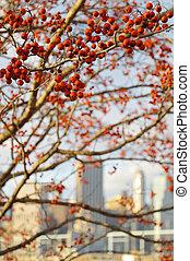 Rowan - Red rowan berries against a Manhattan skyline