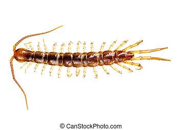 centipede, ,