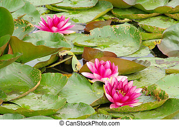Seerose - water lily 35
