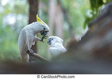 Beautiful white Cockatoo, Sulphur-crested Cockatoo (Cacatua galerita)