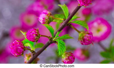 Pink Sakura Tree Flowers. - Pink Flowers Blossoms on the...