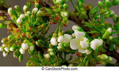 White Cherry Tree Flowers. - White Flowers Blossoms on the...