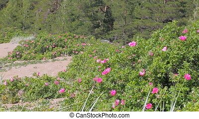 Bushes of wild roses blooming on sandy beach of Baltic sea....