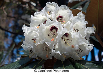 White Rhododendron in Wales