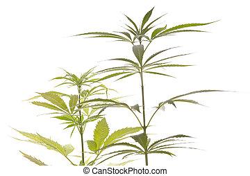 Fresh Marijuana Plant Leaves on White Background - Close up...