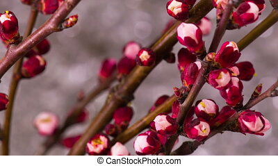 White Cherry Tree Flowers. - Flowers Blossoms on the...