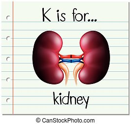 Flashcard letter K is for kidney illustration
