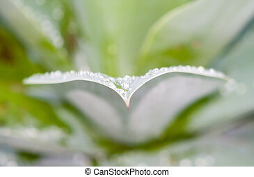Water Droplets On Agave Leaf 4 - A close up of crisp water...