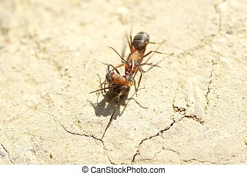 ants  - a photo of red ants closeup