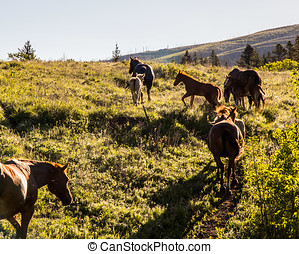 Beautiful horses in Glacier National park morning light -...