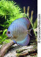 Blue Snakeskin Discus Aquarium Fish - Blue Snakeskin Discus...
