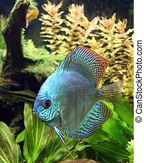 Blue Diamond Discus Aquarium Fish