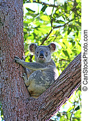 Wild Koala In Eucalyptus Tree - A wild Koala sitting in a...