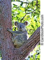 Wild Koala In Eucalyptus Tree - A wild Koala sitting in a...